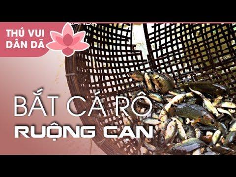 Bắt Cá Rô Ruộng Cạn ở Đồng Tháp l Catching Anabas in Dong Thap Province |  VỀ ĐỒNG THÁP ĂN GIỖ P4