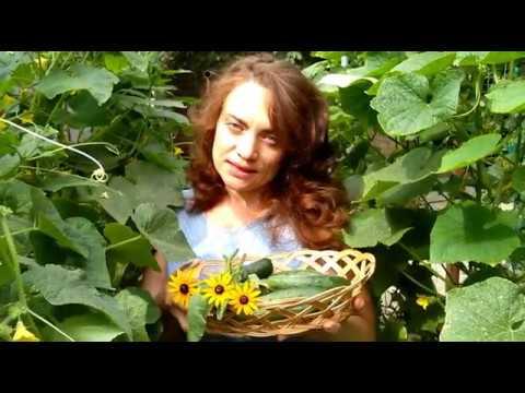 Огурцы: выращивание и уход в открытом грунте