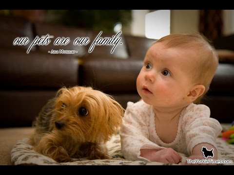 Yorkie Dogs Meeting Babies for the First Time - Yorkie Dog Laughing and Playing Baby Compilation