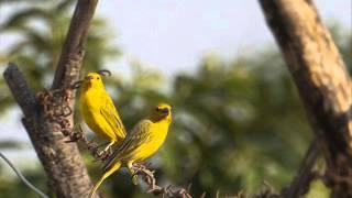 Canarinho do peito amarelo - Milionário & José Rico