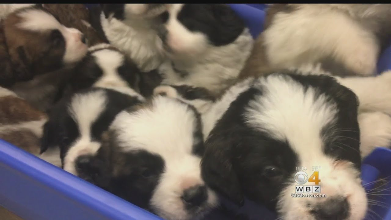 Twelve Saint Bernard Puppies Rescued By Douglas Police, Animal Control