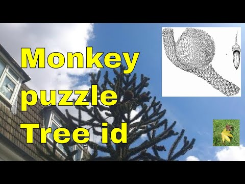 Tree ID: Monkey Puzzle - Araucaria araucana - Monkey Tail Tree, Chilean Pine, Chili Pine