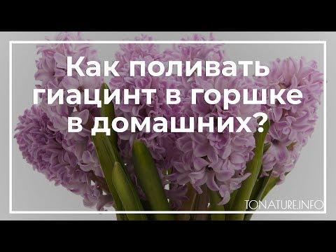 Как поливать гиацинт в горшке в домашних? | toNature.Info