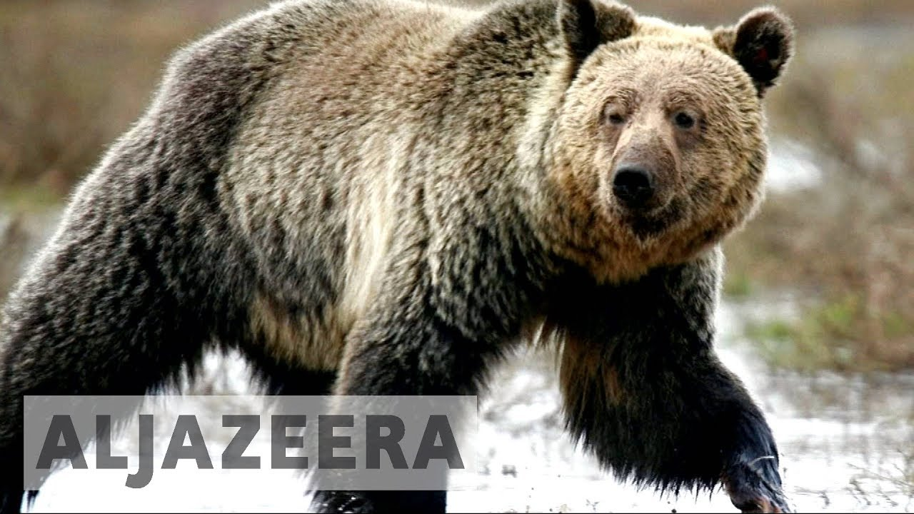 US takes Yellowstone grizzly bears off endangered list