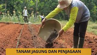 Download Video Tanam: Tanam jagung dan penjagaan MP3 3GP MP4