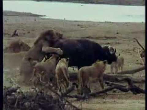Leones Cazando Un Bufalo  Lions Hunting A Buffalo  YouTube