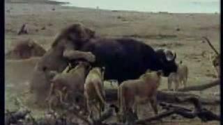 leones cazando un bufalo lions hunting a buffalo
