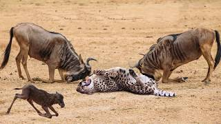 Power Of Mother Animals! Wildebeest Protect Newborn From Cheetah Hunting, Lion vs Leopard