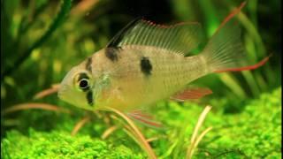 [HD 1080p] Mikrogeophagus altispinosus - mit Fräskopfwürmer / Milling head worms (Camallanoidea)