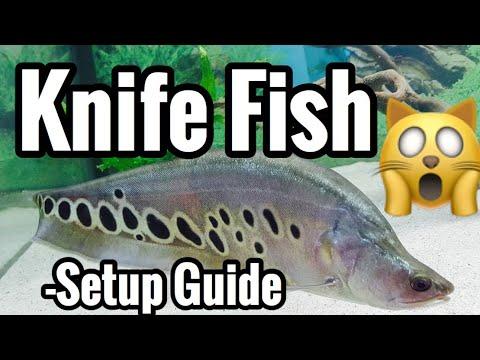 Clown Knifefish, Chitala ornata, Clown Featherback Fish ...