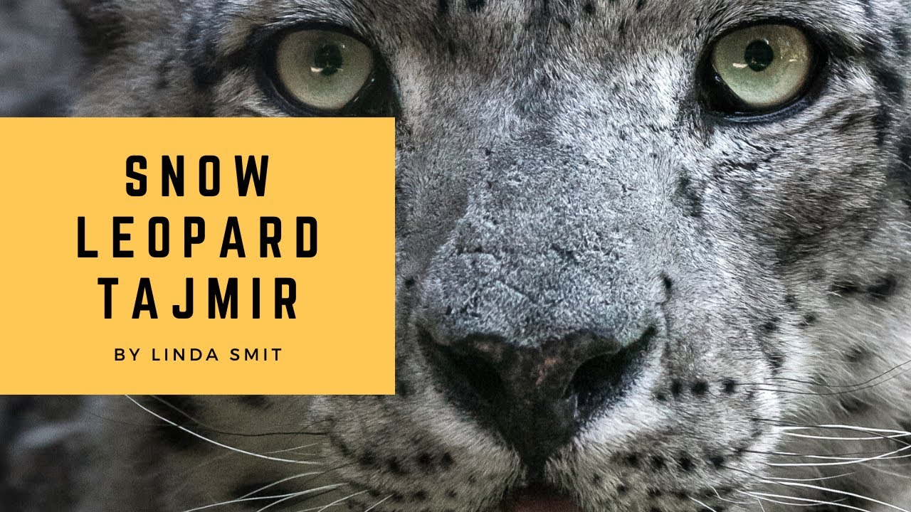 The best of gorgeous snow leopard Tajmir. Watch him up close, rolling, scent marking  and play.