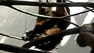 オリイオオコウモリの赤ちゃん。上野動物園。 ーどうぶつの赤ちゃん htt...
