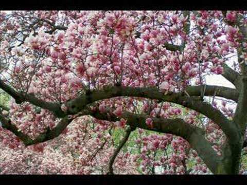 Cherry Blossom Featival 2008- Ann Murray's-Killing...