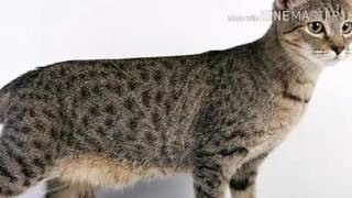 Кошки и коты|Пиксибоб|Характер,здоровье, происхождение.