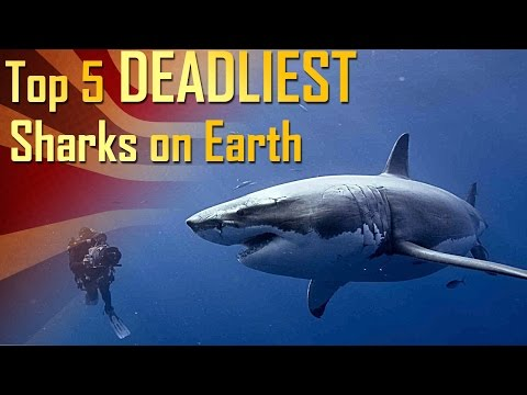 Top 5 Deadliest Sharks on Earth