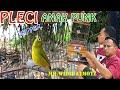 Terapi Suara Pleci Dakun Zipperan By Widie Cimotz  Mp3 - Mp4 Download