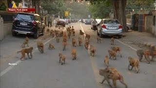 Обезьяны-воришки орудуют на улицах Индии