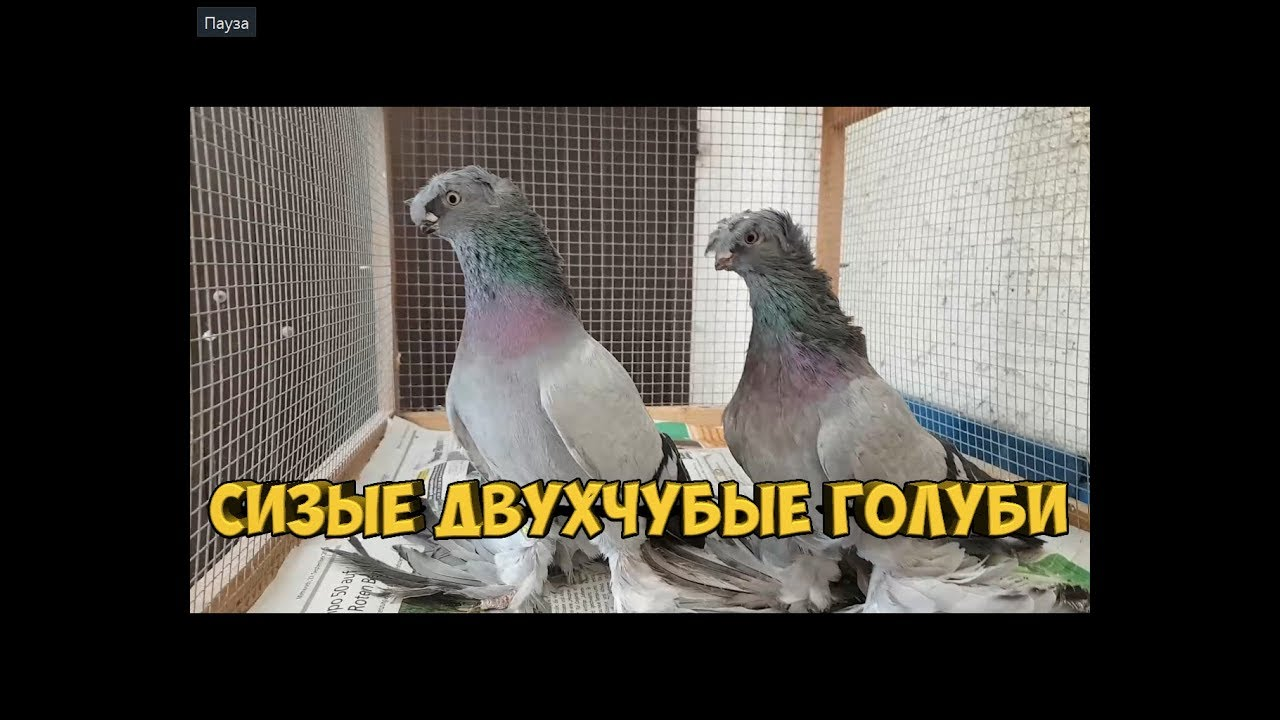 сизые голуби бойные
