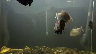 Сом и пираньи в аквариуме catfish and piranhas in the aquarium
