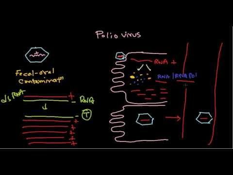Polio virus life cycle