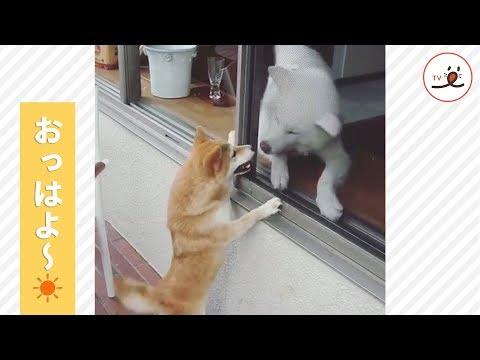 おとなりさんに元気いっぱいに朝の挨拶をする柴犬☀︎【PECO TV】