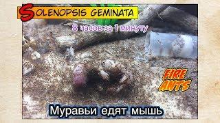 Кормление огненных муравьев МЫШАМИ, 18+ // FIRE ANTS Solenopsis geminata