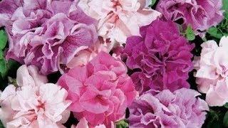 270. Тонкости посева петунии и других цветов на рассаду.