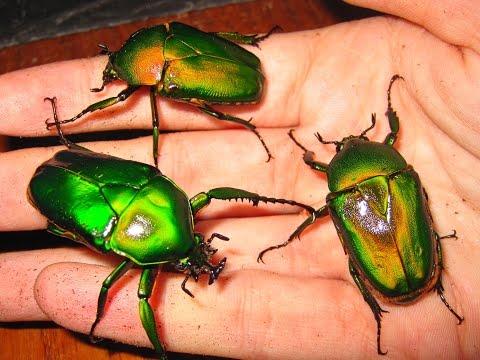 Dicronorrhina Micans/Green Bulldog Beetles.