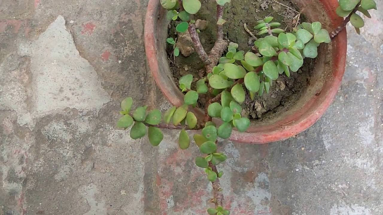 How To Grow Jade Plant How To Care Jade Plants Youtube
