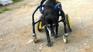黒ラブ モルビーちゃんの4輪車椅子試乗の様子です.