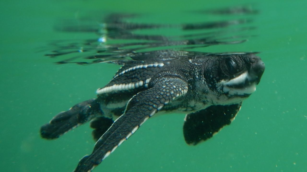a leatherback sea turtle hatchlings first swim youtube