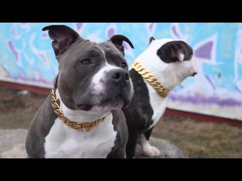 Gold Dog Collar Collection | BIG DOG CHAINS