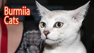 Burmilla Breed