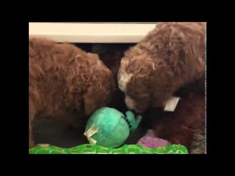 Sophie's Australian Labradoodle Puppies