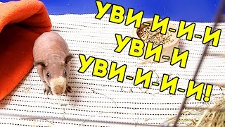 Звуки Морской Свинки / SvinkiShow