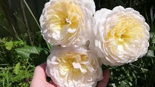 Розы цветут не смотря на дождь🌹🌦 Августа Луиза Бенджамин Бриттен Крокус Роуз и др.