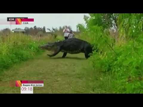 В природном парке Флориды гигантский аллигатор перешел дорогу туристам Новости Первый кан