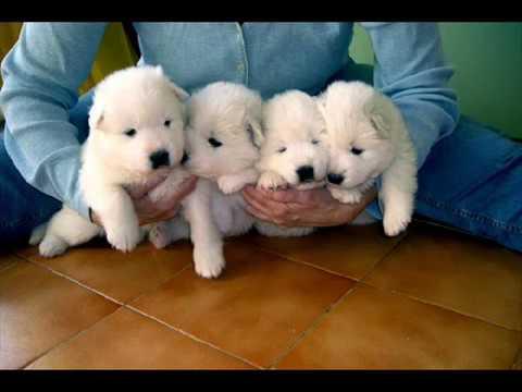 Historia del Husky Siberiano - Perros - mundoAnimalia.com