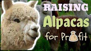 Raising Alpacas For Profit
