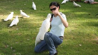 Какаду в Сиднее. Путешествие по Австралии. Cockatoo in Sydney(Онлайн путешествие по Австралии. Сиднейский Королевский ботанический сад расположен в центре Сиднея прямо..., 2015-06-07T05:43:49.000Z)