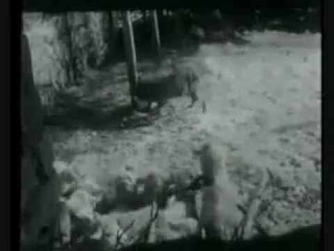 Sarplaninac napada Vuka