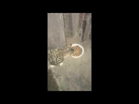 les chats du maroc /casablanca juin 2016