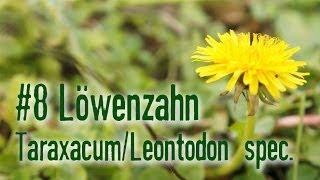 Outdoor Survival Doku: Essbare Pflanzen, Die Dirty Dozen: Löwenzahn
