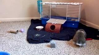 Little Dandy, Very Frisky Holland lop Bunny
