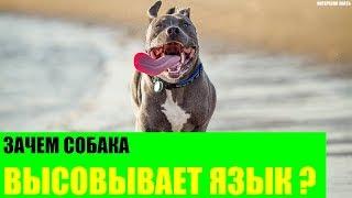 Зачем собака высовывает язык?