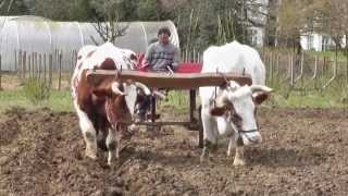 Working with the Oxen. Part One. 2013.