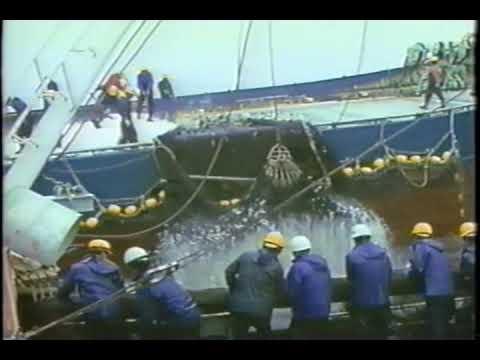 Sardine Catch in Japan