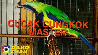 Download Lagu CUCAK CUNGKOK MASTER 2020 || SUARA JERNIH FULL HD mp3