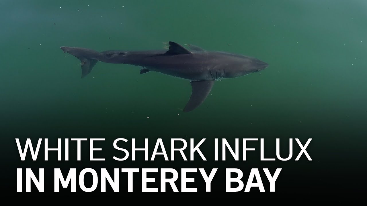 White Shark Influx in Monterey Bay Linked to Climate Change