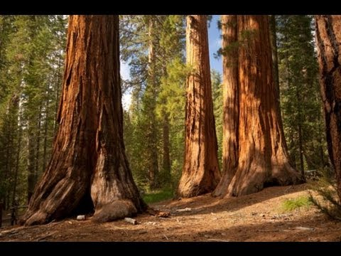 The Redwood Trees - World Tallest Trees.